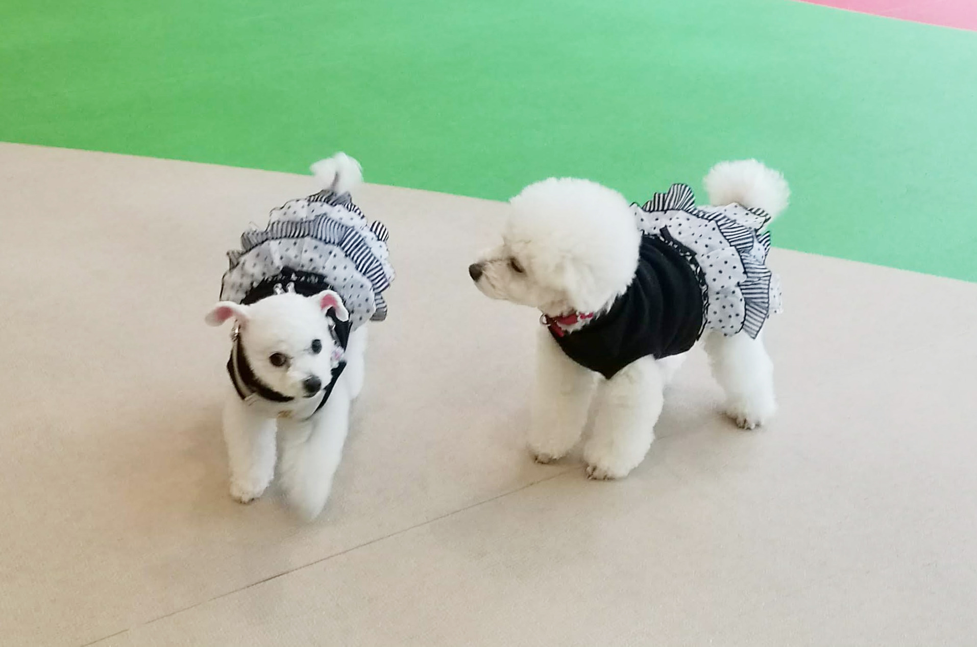 【満枠のため予約受付終了】9月26日(日)第15回WANオフ会開催!《犬のプーさん会》プードルちゃん&プードルMIXちゃん集まれー!