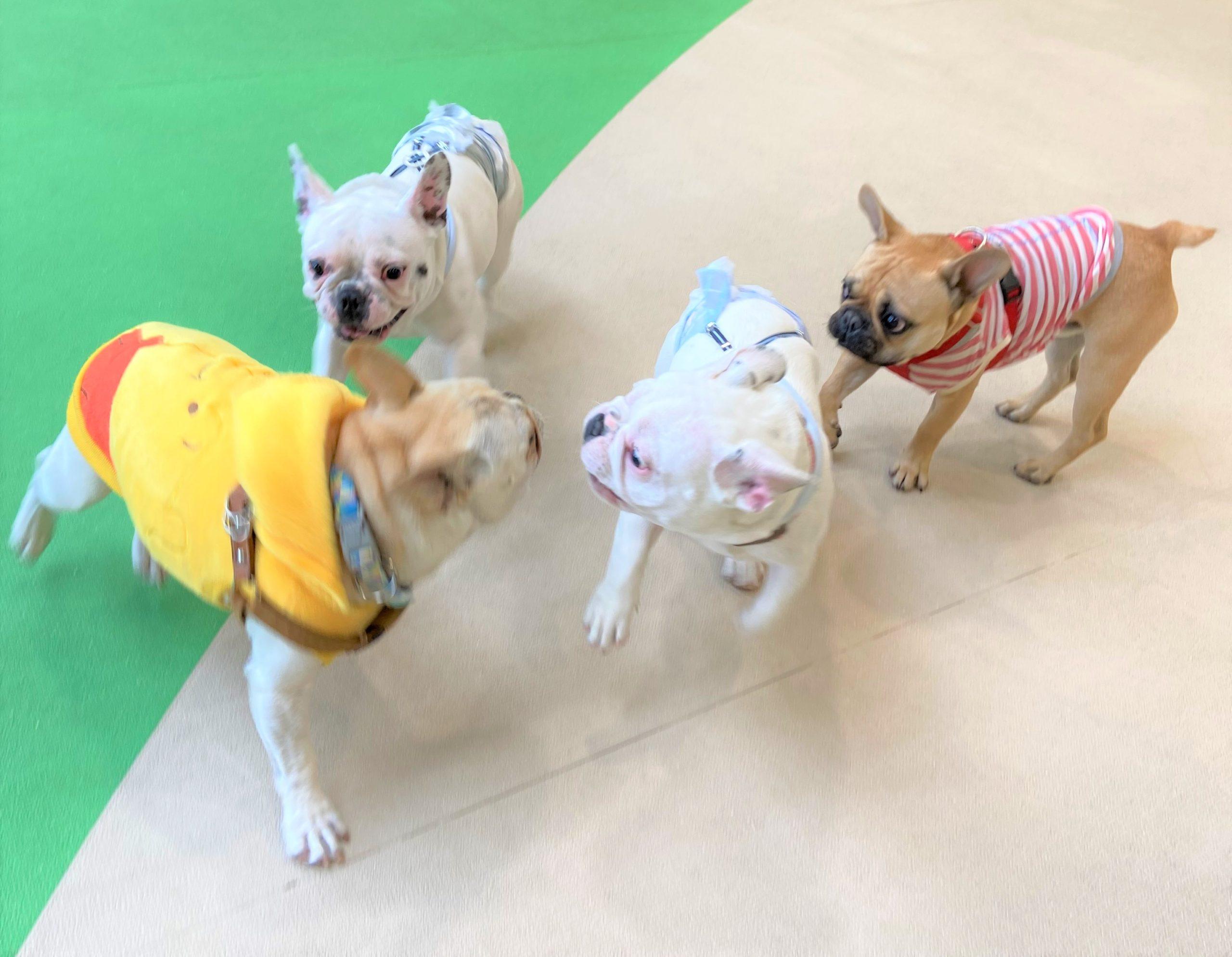 【満枠のため予約受付終了】9月5日(日)第14回WANオフ会開催!《ペチャ会》中・大型犬種の鼻ペチャさんたち集まれー!